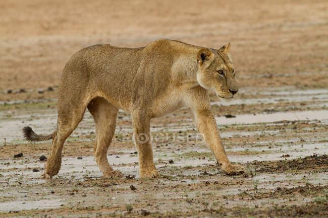 Левиця прогулянки в пустелі і дивитися вбік — стокове фото