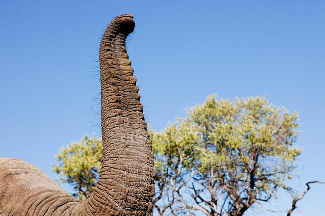Обрезанное изображение женщин африканского слона хобот в Ботсване, Африка — стоковое фото