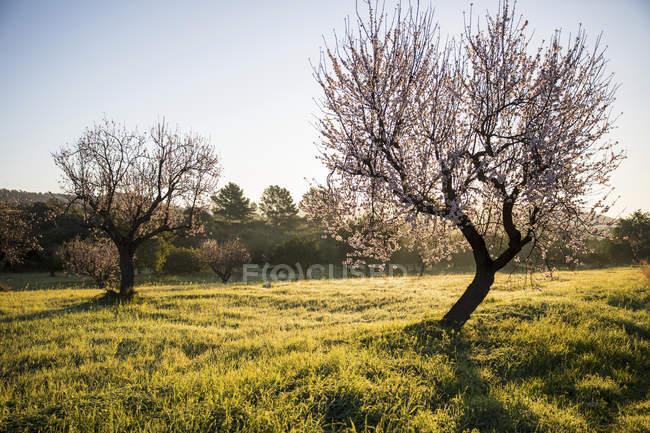 Vista panorâmica de amendoeiras em campo — Fotografia de Stock