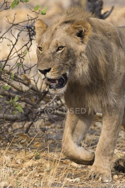Lion mâle marchant dans Savuti, Parc National de Chobe, Botswana — Photo de stock