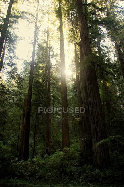 View of redwood trees, California, USA — Stock Photo