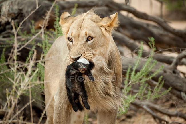 Leone con tasso del miele in bocca — Foto stock