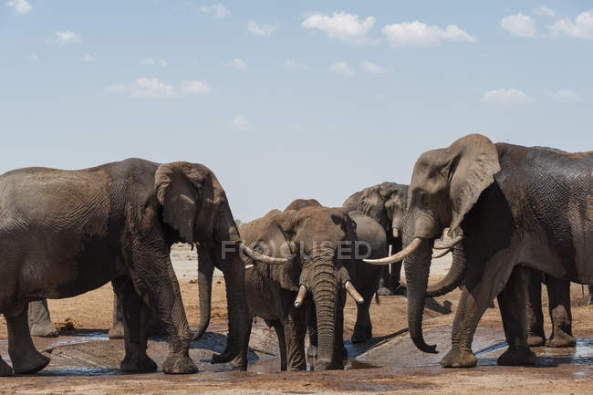 Elefantes africanos bebendo em Savuti, Parque Nacional de Chobe, Botswana — Fotografia de Stock