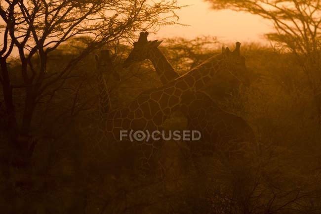 Два сітчасті жирафи в sunset, Kalama охорона, Самбур, Кенія — стокове фото
