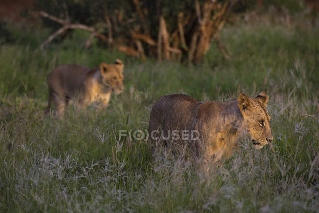 Dois leões sub adultos andando na grama verde durante o pôr do sol — Fotografia de Stock