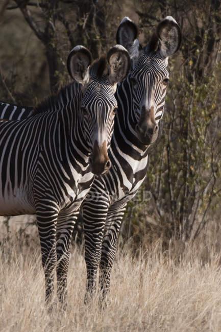 Два красивых Grevys зебр в Kalama Conservancy, Самбуру, Кения — стоковое фото