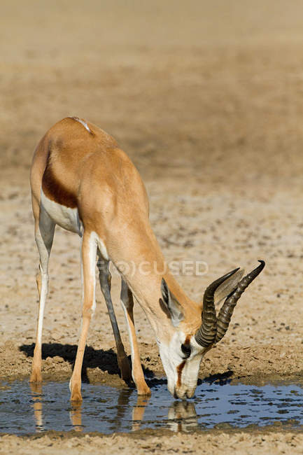 Springbok antelope drinking water from puddle in dry desert, Africa — Stock Photo
