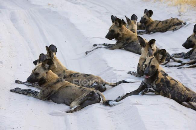 Африканських дикі собаки лежачи на піску в Savuti, Чобе Національний парк, Ботсвани — стокове фото