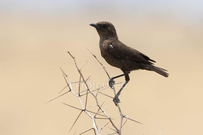 Vogel sitzt auf Buschwerk in Nxai-Pfanne, Botswana — Stockfoto