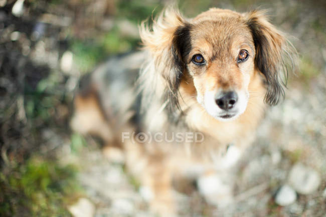 Vista del cane marrone che guarda l'obbiettivo con priorità bassa defocused — Foto stock