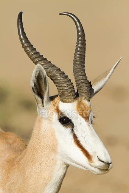 Portrait d'un springbok avec des cornes debout dans le désert — Photo de stock