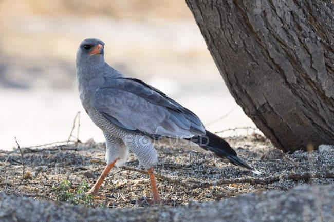 Un pâle chant-autour des palombes (Melierax canorus), Kalahari, Botswana, Afrique — Photo de stock
