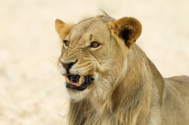 Зменшеному вигляді величний красиві Африканський лев, постріл у голову — стокове фото