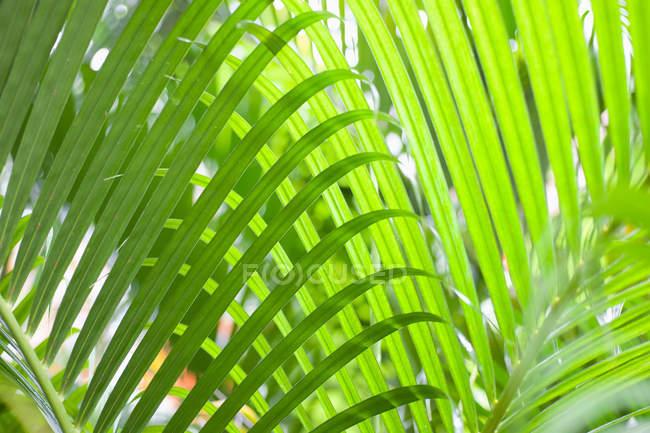 Vista de Palma verde hojas - foto de stock