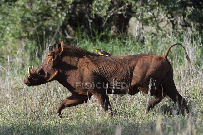 Warthog running with yellow-billed oxpecker on its back in tsavo national park — Foto stock