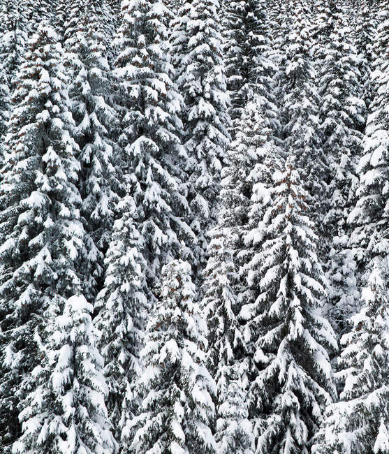 Snow covered trees,Grand Massive, French Alps — Stock Photo