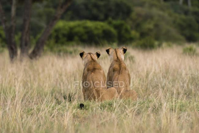 Резервного зору двома молодими левиці, сидячи в траві в Масаї Мара, Кенія — стокове фото