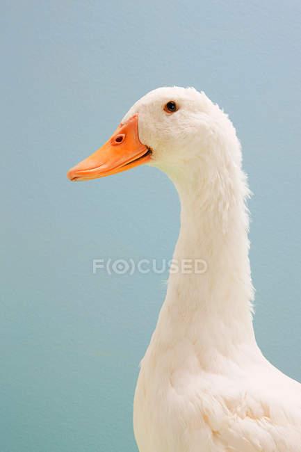 Oie blanche avec un bec orange sur fond bleu — Photo de stock