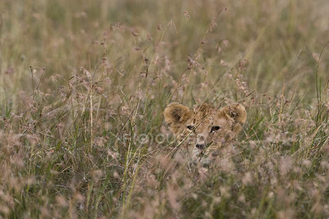 Lion cub waiting for mother and hiding in tall grass, Masai Mara, Kenya — Stock Photo