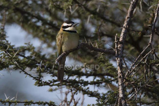 Bianco-throated Gruccione seduta dell'uccello sull'albero in Samburu National Reserve, Kenya — Foto stock