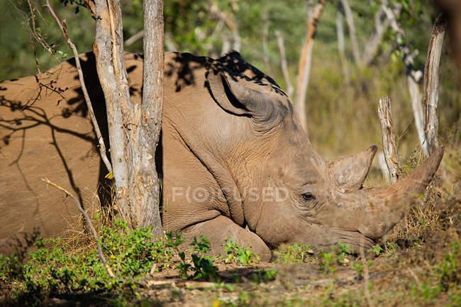 Rinoceronte bianco maschio, Mosi-Oa-Tunya National Park, Zambia, Africa — Foto stock