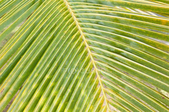 Vue de la feuille de palmier vert, gros plan — Photo de stock