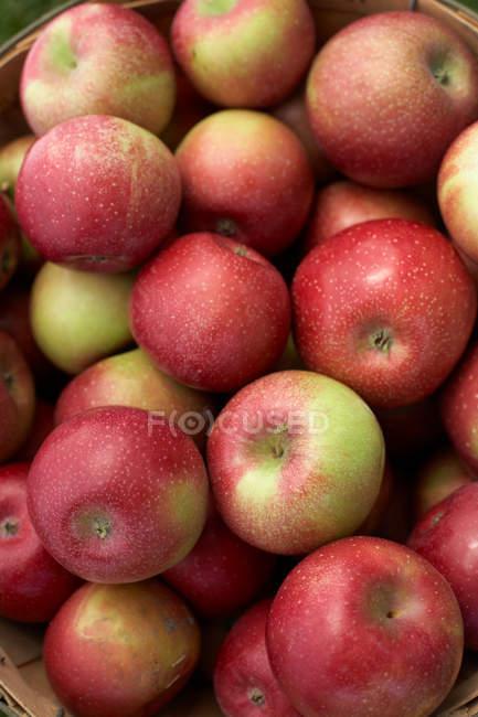 Mele rosse e sane, telaio completo. Fresco raccolto di mele — Foto stock