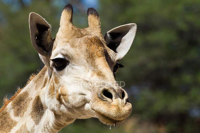 Muso di una giraffa guardare lontano, primi piani — Foto stock