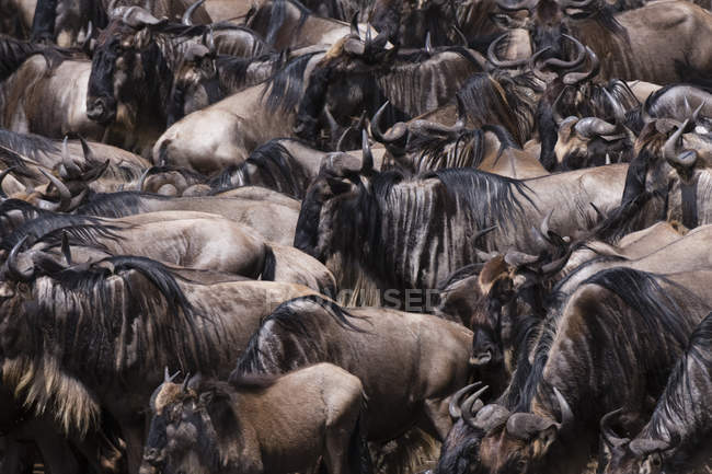 Herd of wildebeests on Mara river bank, Masai Mara National Reserve, Kenya — Stock Photo