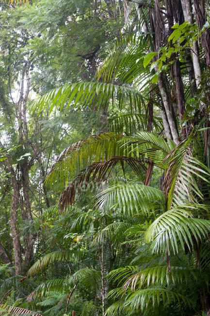 Vista de exuberantes palmeiras, Tobago — Fotografia de Stock