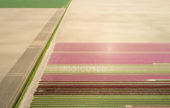 View of bulb fields, north Netherlands landscape — Stock Photo