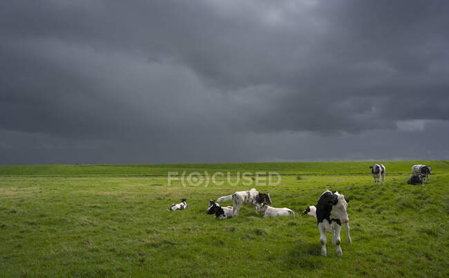Herd of cows on a pasture under a stormy sky, The Netherlands. — Foto stock