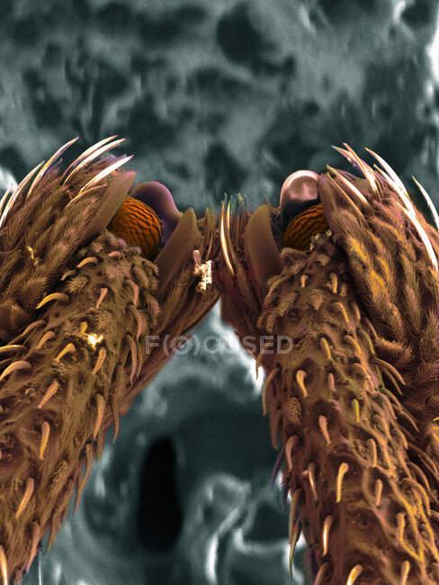 Imagen SEM de patas de escarabajo hocico - foto de stock