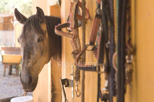 Cabeza de caballo asomándose fuera del granero - foto de stock