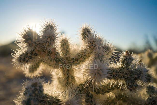 Cactus en Joshua Tree National Park, California, Estados Unidos - foto de stock
