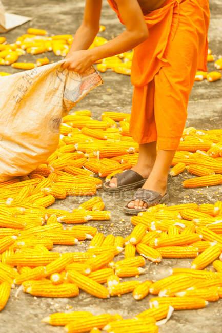 Homme Séchage de maïs, Ban Lad Han — Photo de stock