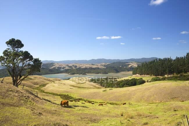 Cattle grazing in fields, Waiheke Island, Auckland, New Zealand — Stock Photo