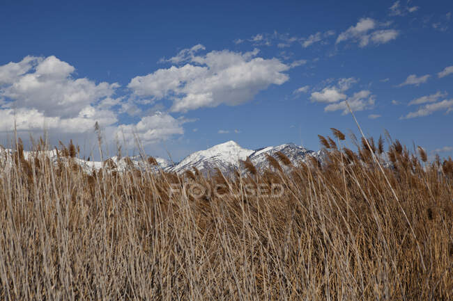 View of reeds in front of snow capped mountain, Lehi, Utah, USA — Stock Photo