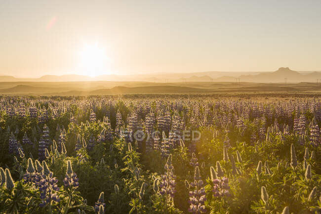 Sunset over field of purple lupin, South Iceland — Stock Photo