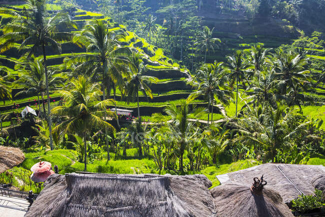 High angle view of paddy fields on mountainside, Indonesia, Bali — Stock Photo