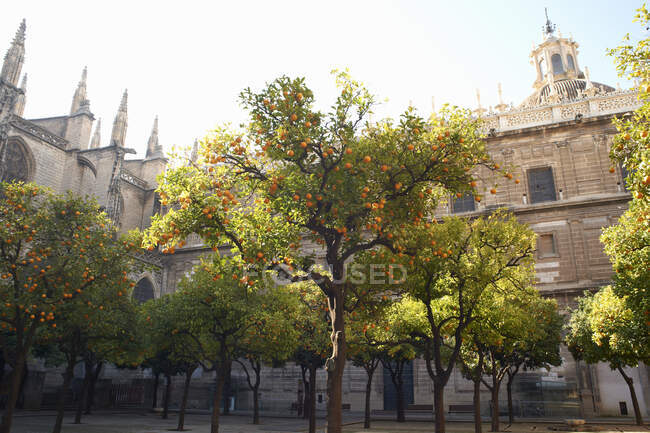 Orange trees in courtyard, Seville, Andalusia, Spain — Stock Photo