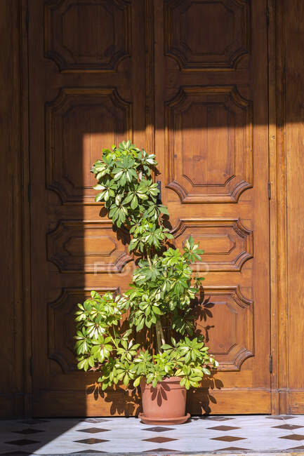 Green plant in terracotta planter in front of wooden entrance door — Stock Photo