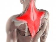Vista del músculo Trapezius , - foto de stock