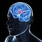 Artwork des Fornix des Gehirns — Stockfoto