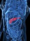 Vista del páncreas sano - foto de stock