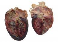 Corazón humano diseccionado sobre fondo blanco . - foto de stock