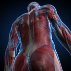 Анатомия мужской мускулатура — стоковое фото