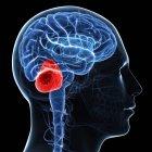 Illustration du cerveau montrant cervelet — Photo de stock