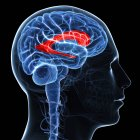 Cerveau montrant un ventricule latéral — Photo de stock