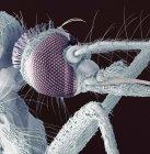 Cabeça de mosquito anatomia — Fotografia de Stock